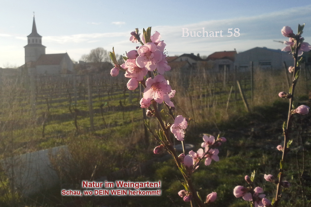 Sooss April 2018 Pirsichblüte in den Weingärten